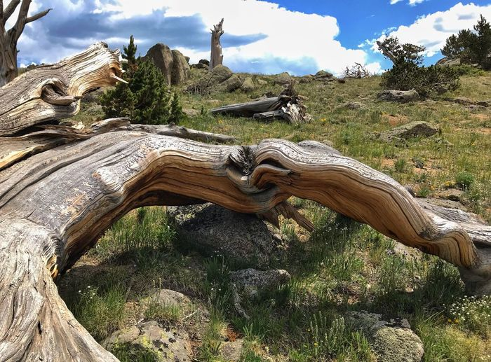 Low angle Landscape of high elevation bristlecone tree trunks, greenery and clouds Mount Evans High Elevation Bristlecone Pine Colorado Tree Plant Sky Nature Day Cloud - Sky No People Low Angle View Land Outdoors Tranquility Sunlight Growth Green Color Beauty In Nature Field Travel Destinations