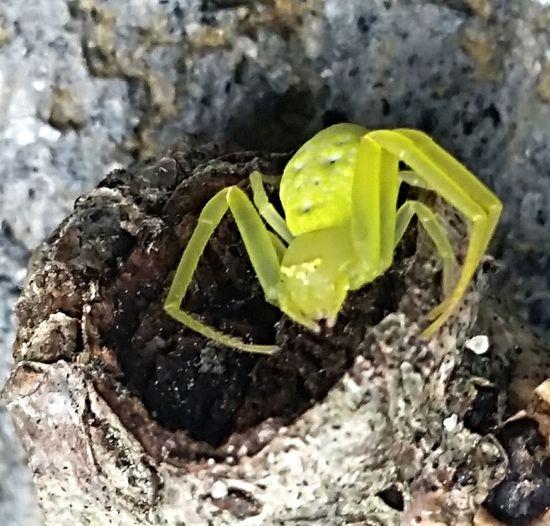Spider Bug