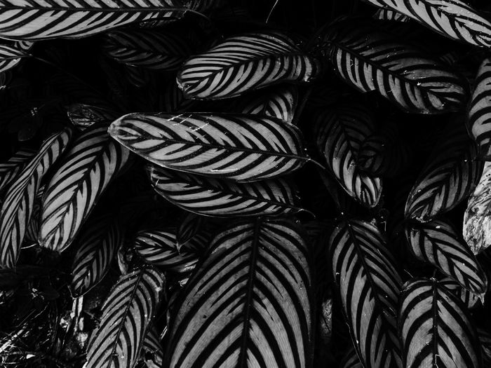 Backgrounds Full Frame No People Close-up Pattern Indoors  Day Black Color Striped Natural Pattern Nature Leaf Abundance High Angle View Textured  Repetition Still Life Design Beauty In Nature Palm Leaf Temptation