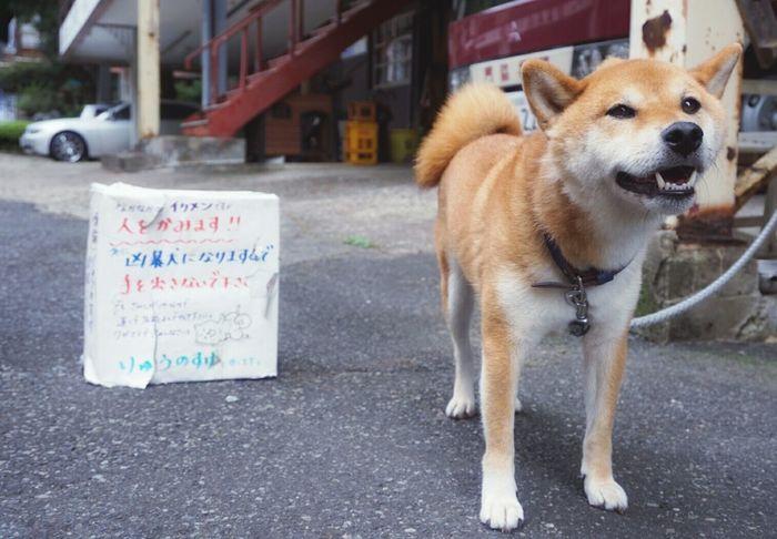 Dog Dogs Of EyeEm Dog Love Dog Photography Dog Day りゅうのすけくんという看板わんこ・摩尼寺・門脇茶屋
