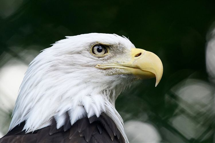 Eagle One Animal Bird Animal Themes Animals In The Wild Animal Wildlife Focus On Foreground Bird Of Prey White Color Eagle - Bird Beak Close-up Bald Eagle Day Outdoors Nature No People Hawk Open Edit Tadaa Community