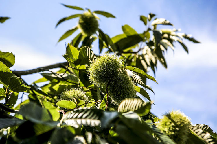 Low Angle View Of Fresh Chestnut Tree