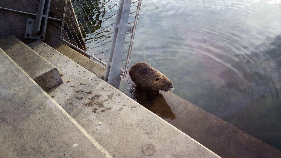High angle view of capybara at lake