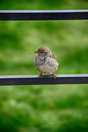 Animal Bird Close Up Focus On Foreground Hrd No People One Animal Selective Focus Sparrow