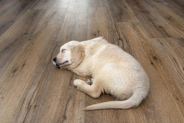 High angle view of dog resting on hardwood floor