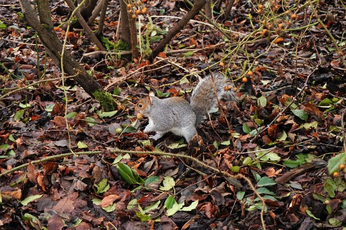 Animal Animal In Nature Animal Themes Botanic Botanic Gardens Botanical Gardens Change Day Field Glasgow  Leaf Mammal Nature No People Nut One Animal Outdoors Scotland Squirrel Squirrel And Nut Squirrels Wilde Wilderness
