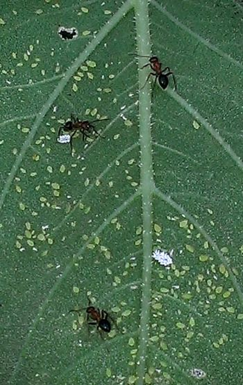 """These ants are """"herding"""" and tending to these small aphids, when the aphids mature the ants will """"milk"""" them. (The aphids produce sweet nectar.) Taking Photos Check This Out Andrography Nature Naturelovers Frommygarden Insects  Green Nature On Your Doorstep"""