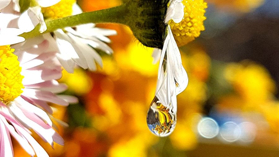 daisys Drop