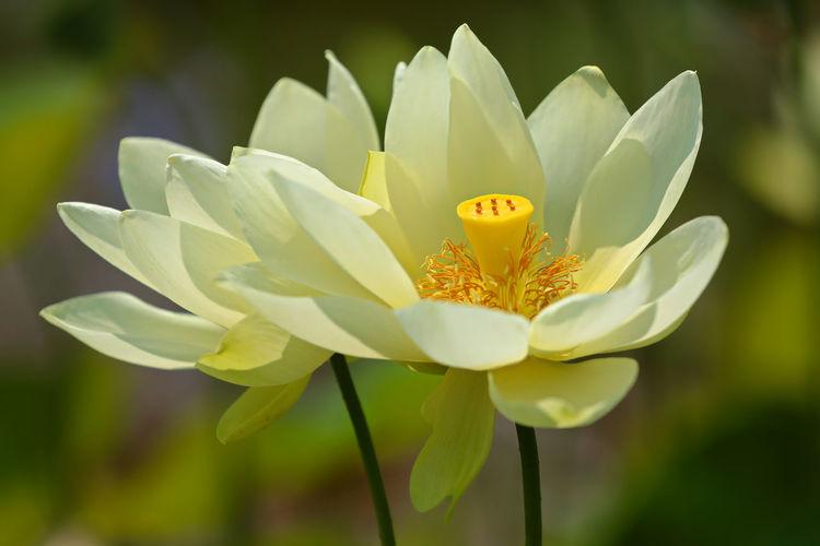 Blooming Lotos