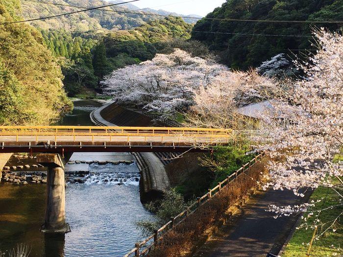 吾平山陵の桜を見に来ました