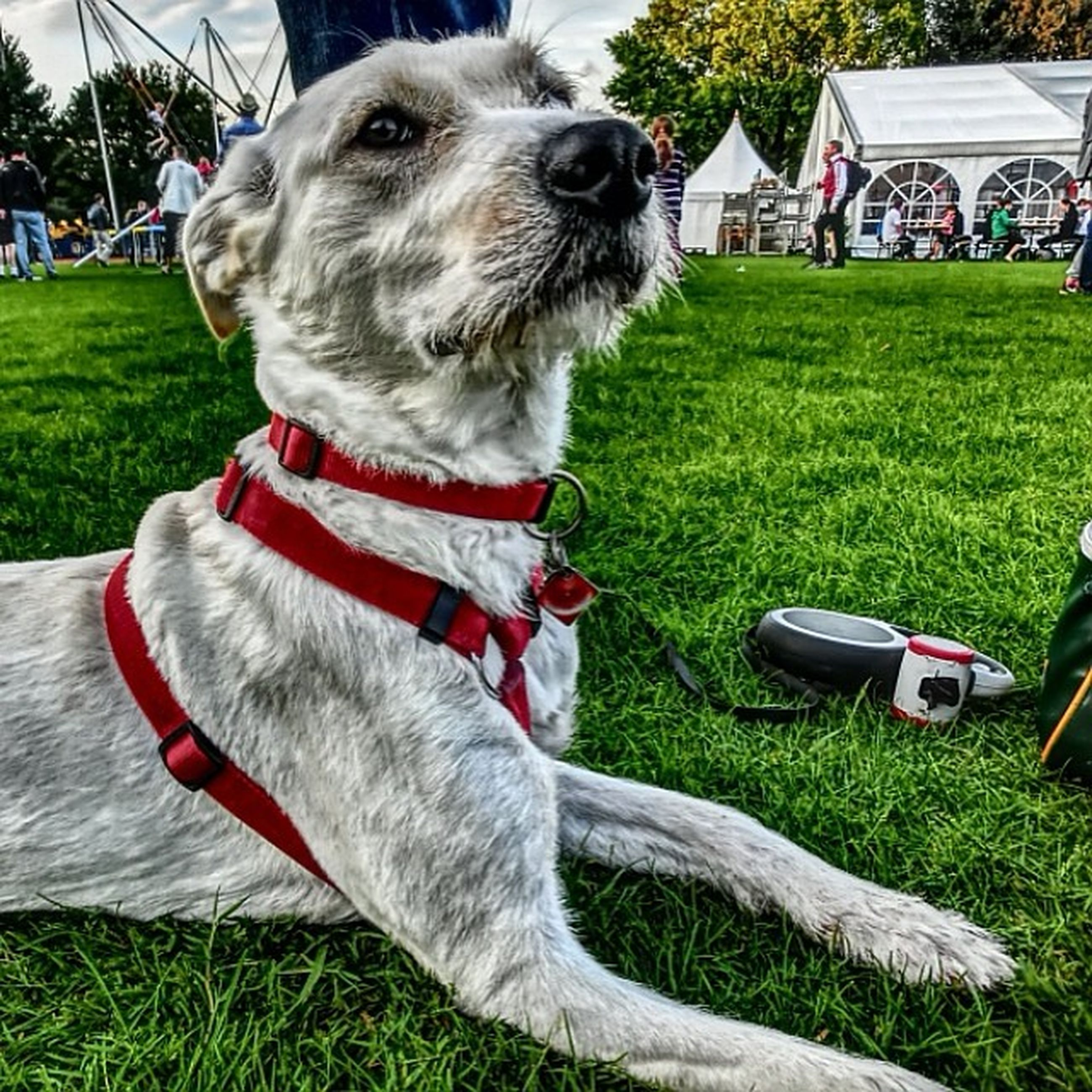 animal themes, domestic animals, one animal, dog, pets, grass, mammal, lawn, field, sitting, park - man made space, grassy, day, pet collar, outdoors, animal head, green color, close-up, relaxation, white color