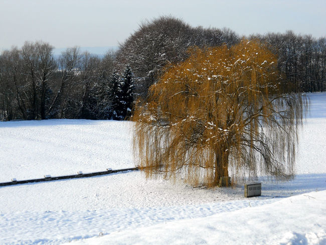 Alone Beautiful Beautiful Nature Dramatic Dramatic Landscape Green Mauthausen Nature No People Plant Sad Sad & Lonely Sad Day Sadness Snow Snow ❄ Trees Unhappy Weeping Willow White White Background White Color Willow Willow Tree Winter