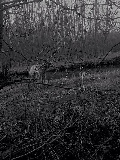 Deerhound Blackandwhite
