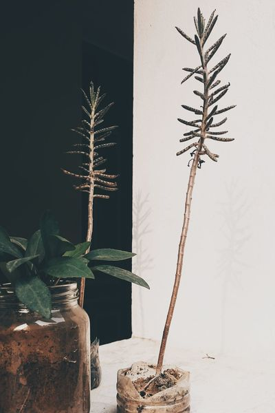 Tree Plant Branch Christmas Decoration Gold Colored Christmas Nature Beauty Beauty In Nature Christmas Ornament Indoors  No People Water Fragility Close-up Medical Cannabis EyeEm Lovely Nature Hanoi Vietnam  Houses Tree Photography Color Of Life! Best EyeEm Shot