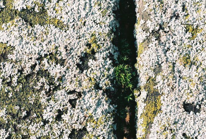 Lichen Beauty Lichens Lichen In Macro Lichenlove Macro Photograpghy Macroshot Contax167mt Carl Zeiss Planar T* 1.7/50mm Lichen Growth Lichen On Wood Close-up Nature Outdoors Day Full Frame