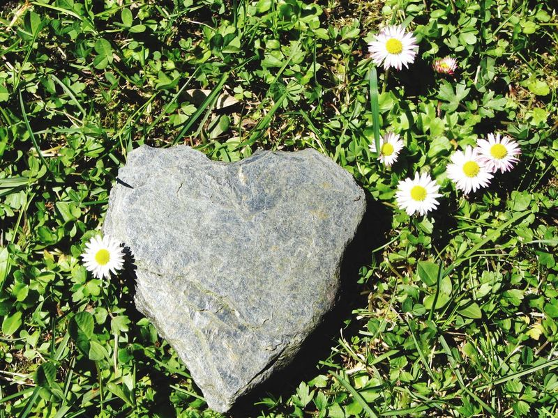 Love ♥ Love Stone Heart Growth Flower Nature Heart Shape Green Color No People Beauty In Nature Outdoors Day Fragility Steine Herz Valentine's Day  Muttertag Liebe Blumen Romantic Romantisch Gänseblümchen Wiese  Berge Art Is Everywhere Green Color Inflorescence Flowering Plant Flower Head The Still Life Photographer - 2018 EyeEm Awards