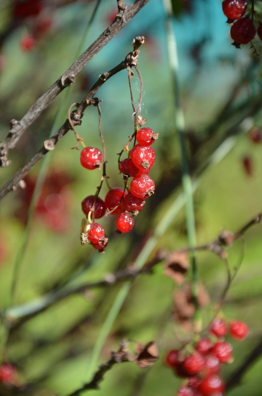 red, growth, berry fruit, fruit, nature, beauty in nature, outdoors, day, plant, no people, rose hip, food and drink, focus on foreground, rowanberry, tree, close-up, hanging, freshness, branch