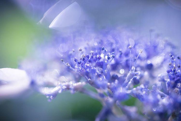 雨とくもりばかりで週末が終わり、来週末までまだ太陽が見えない。梅雨の時期はまだまだ続く。。 Flower Flowering Plant Purple Fragility Selective Focus Vulnerability  Beauty In Nature Plant Growth Freshness Close-up Petal Nature No People Flower Head Inflorescence Day Blue Lavender Outdoors Pollen Purity Lilac