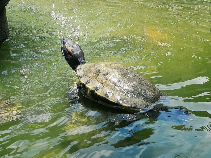 Turtle on a Fountain Fountain Water EyeEm Selects Water Reptile UnderSea Swimming Underwater Turtle Sea Turtle