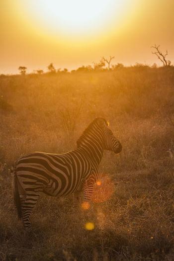 Zebra on grassland during sunset