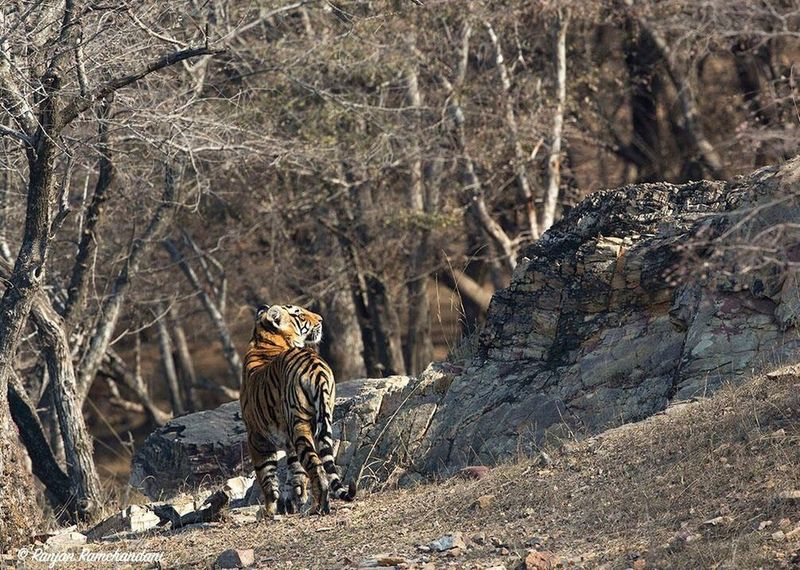 Taken at Ranthambore, india Dudla Nature Photography Wildlife Tigers Discoverychannel