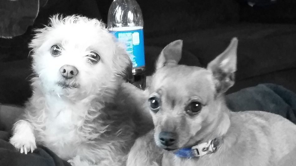 Looking At Camera Pets Portrait Animal Domestic Animals Animal Themes No People Dog Close-up Blue Accent