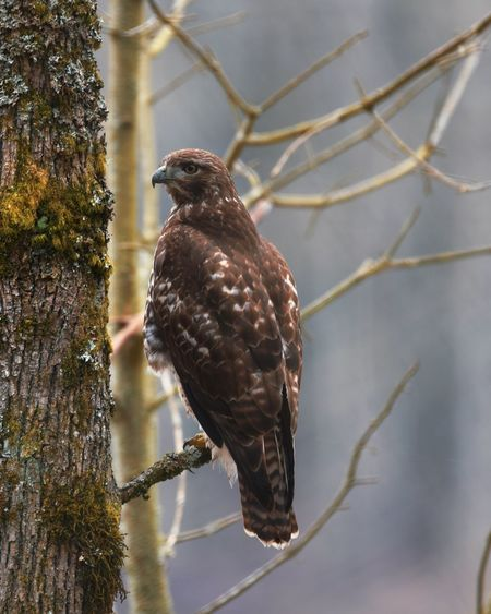 Close-up of eagle perching on branch
