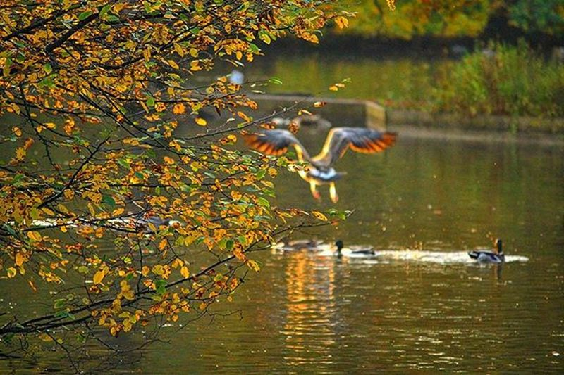 Greygoose Bythelake Fallbythelake Autumn Leaves Falltime Season  Seasons Instafall Instagood TD Instaautumn Photooftheday Leaf Foliage Colorful Acorn Fallingleaves Chilly Scenery Beautiful Yellow Magnificent Harvested Spectacular beautiful orange red autumnweather fallweather nature