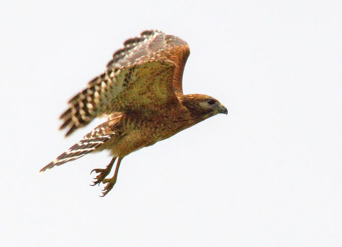 Flying red shouldered hawk Animal Themes Animal Wildlife Animals In The Wild Bird Flying Flying Birds Motion Nature One Animal Rapter Red Shouldered Hawk Spread Wings Talon Wings Spread