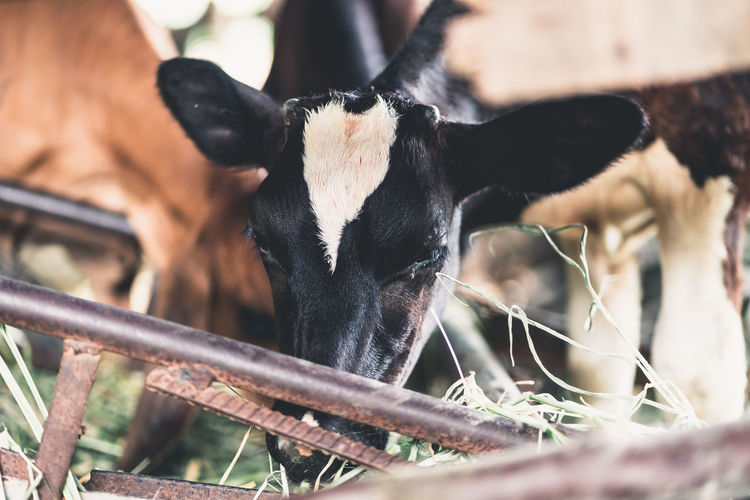 cow Animal Animal Themes Mammal Domestic Animals Vertebrate Livestock One Animal Domestic Pets Selective Focus Close-up No People Herbivorous Black Color Animal Body Part Nature Focus On Foreground Day Cattle Animal Head  Outdoors