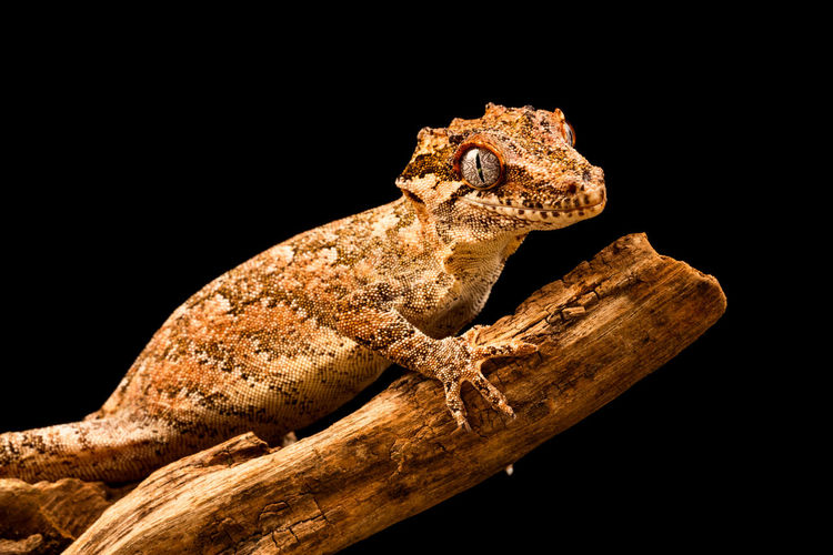 Close-up of lizard on wood against black background