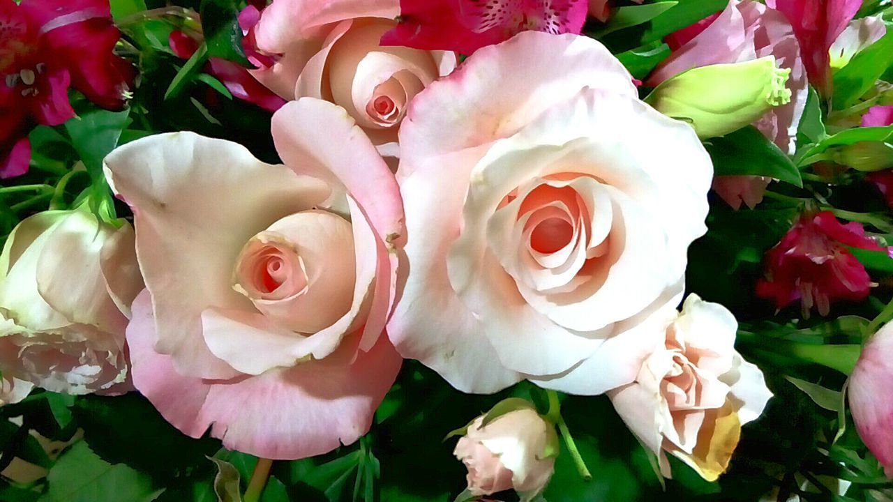 flower, petal, rose - flower, flower head, nature, fragility, beauty in nature, growth, plant, freshness, no people, close-up, pink color, outdoors, day, blooming
