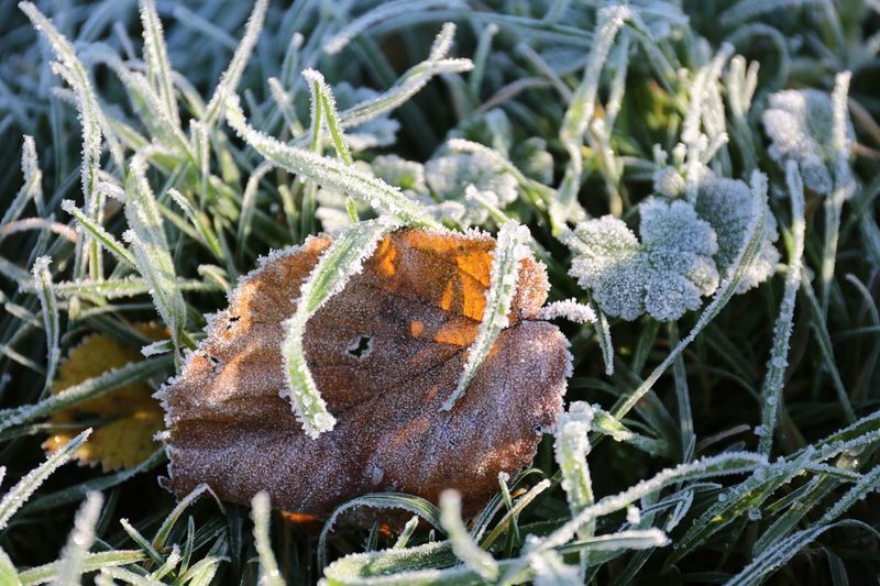 The frosty grass tried to keep the leaf warm in a cold hug. Plant Close-up Growth Nature Day Animal Wildlife No People Beauty In Nature Cold Temperature Frozen Focus On Foreground Winter Frost Land Leaf Plant Part