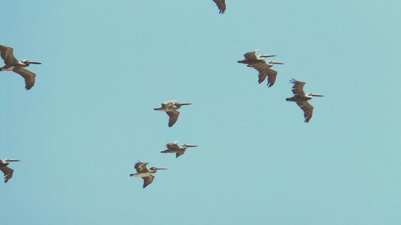 Mar Pelicanos Aves Cielo Azul Cielo Aves Volando Ecuador♥ Manabi Ecuador Puerto López Mi Lindo Ecuador