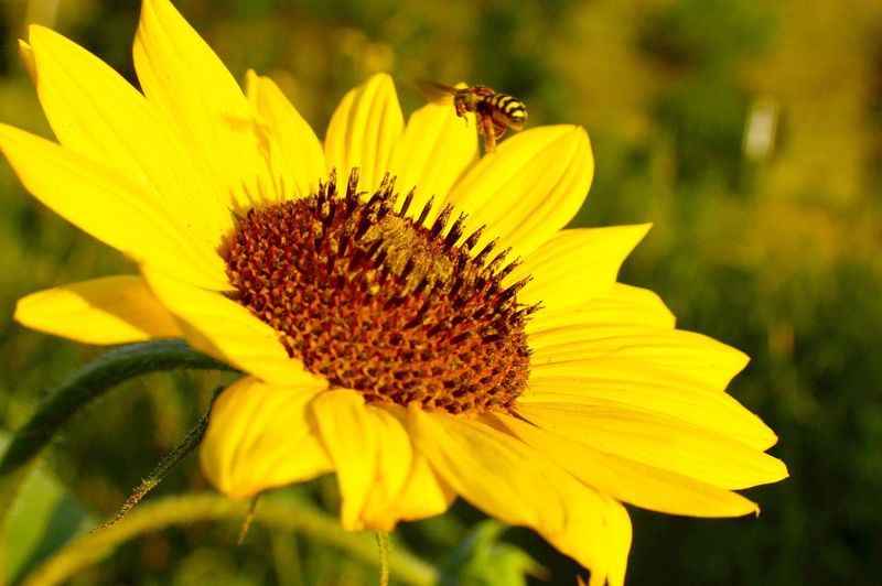 Pollination in progress Lusk Wyoming Pretty Yellow Pedals Sunny Afternoon Beauty In Nature Standing Tall Bright Yellow