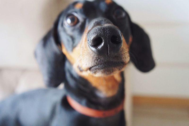 Derek, Dachshund Derek Teckel Dachshund Dog Pets One Animal Domestic Animals Animal Themes Looking At Camera Portrait EyeEmNewHere