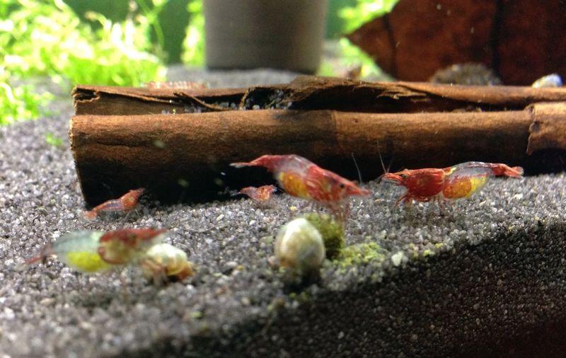 Shrimps For Aquarium Shrimp Tank Feeding