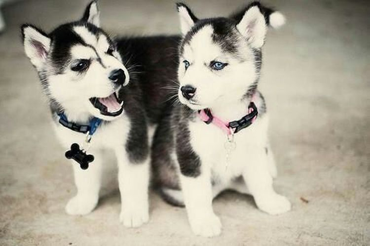 Want these guys so bad! If you want make me a gift please say where can I find them! Dog❤ Haski Dogs Cuties