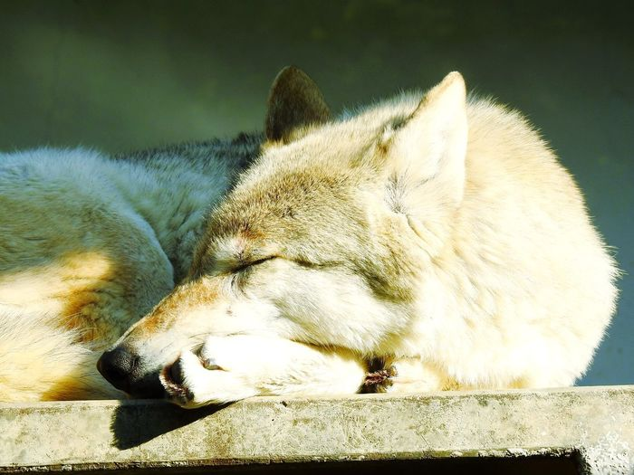 Wolf Relax in winter day Wolf China Chinese Relax Relaxing Moments Carnivora Predator Dog Canis  Canis Lupus Relaxing Wildlife Cute Animal Pet Zoology Zoo Forest Hunting River Montains    EyeEm Selects One Animal No People Mammal Animal Themes Close-up Animals In The Wild Day Outdoors Nature