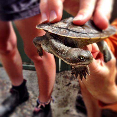 Australia turtle