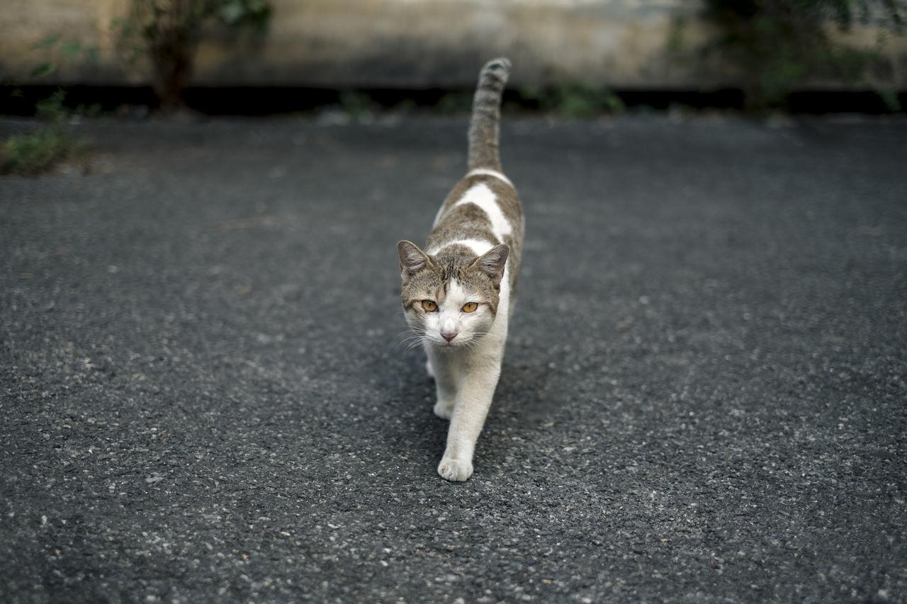 Portrait Of Cat Walking On Street