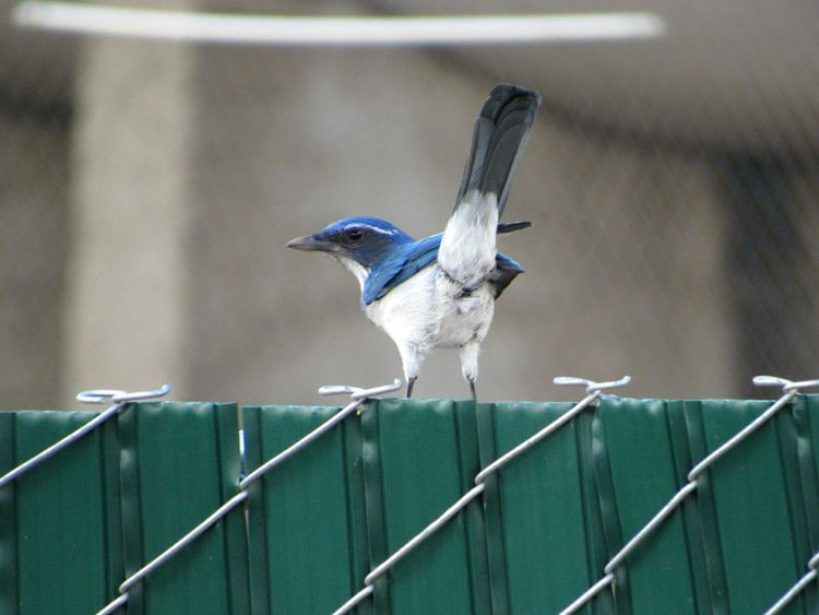 Scrubjay One Bird One Animal Animal Themes Animals In The Wild Wildlife Fence Focus On Foreground Vertebrate Zoology Perching Close-up Beak Selective Focus Animal Head  Avian Animal Flying Vibrant Color