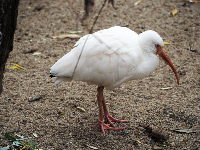 Close-up of white ibis perching on field at zoo