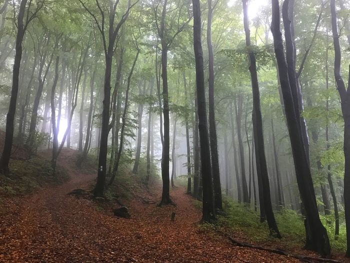 Nature Tree Forest Tranquil Scene Tranquility Beauty In Nature Tree Trunk Scenics Landscape Outdoors Fog Day No People Leaf Autumn Growth Branch