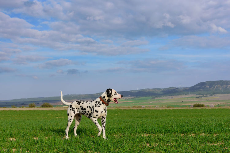 View of  a dalmatian dog on field against sky