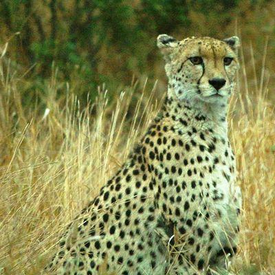 Cheetah Krugernationalpark Wildlife Africa Igersmp Aviary Natureaddict Animalsaddict Squaredroid @Animals Africanamazing
