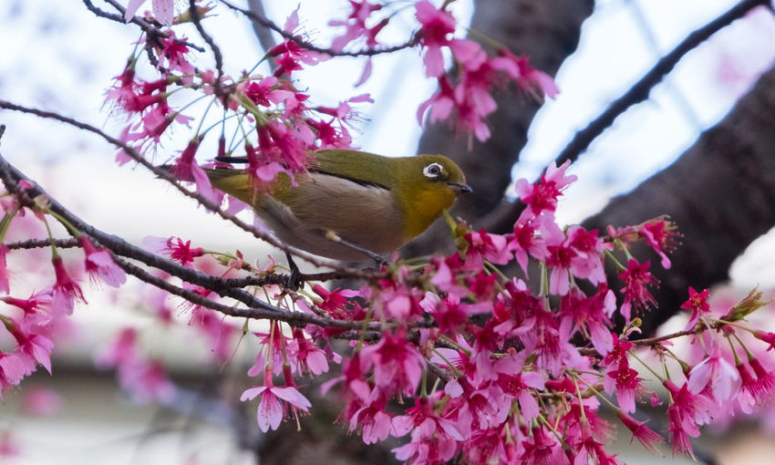 Japanese white eyed bird (scientific name Zosterops japonicus) locally known as mejiro on sakura cherry blossom tree. Cherry Blossoms Japan Sakura Tokyo Zosterops Japonicus Animal Themes Animal Wildlife Animals In The Wild Beauty In Nature Bird Blooming Branch Close-up Day Flower Flower Head Fragility Freshness Growth Nature No People One Animal Outdoors Perching Petal Pink Color Pollination Tree White Eye