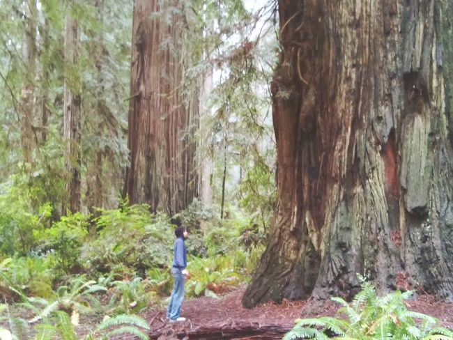 Landscapes With WhiteWall Nature Photography Rain Forest Trees And Nature Redwood Trees Tree Forrest Photography Giant Redwoods Humboltcounty Photography Fresh On Eyeem  Northern California Forrest Photography Rain Forest Tree Trees And Nature Woodlandwalks Giant Tree Big And Small Colossal