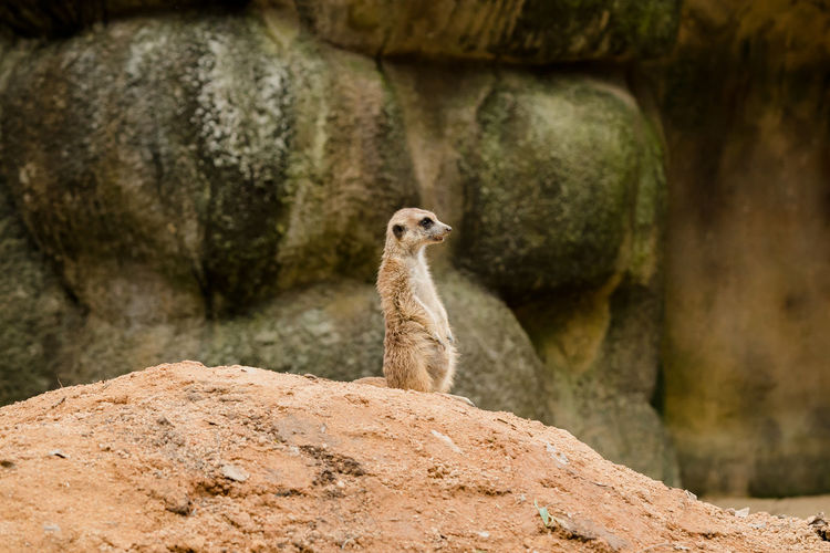Meerkat Looking Away While Rearing On Rock