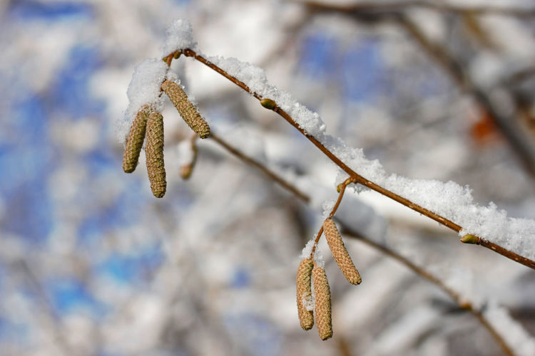 Close-up Plant Winter Focus On Foreground Cold Temperature Nature Snow Twig Branch Tree Outdoors Frozen Shrub Hazelnut Branches Hazelnut Blossoms Snow Covered Branch Blossoms  Winter Blossom Wintertime Hazelnut Shrub Snow Covered Trees